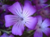 Purple Flower - Agrostemma - m