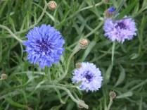Purple Flowers - m