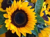 Sunflower - m