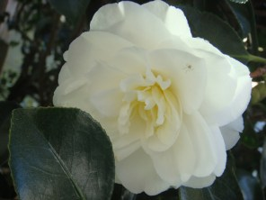 White Rose on Rose Bush and Spider - m