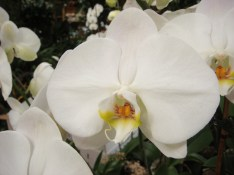 White with Yellow Orchid - m