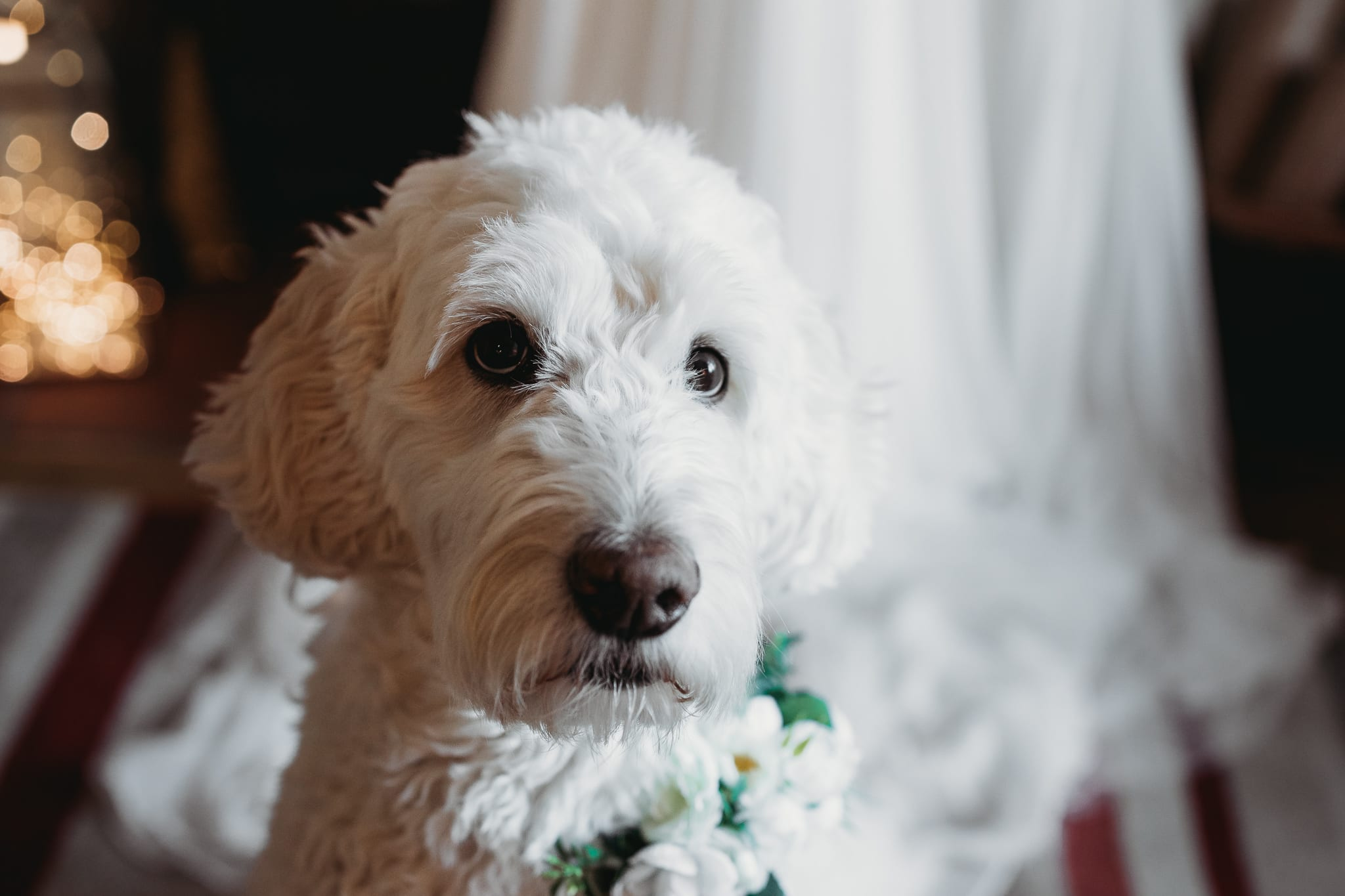 closeup of a white dog wearing a flower necklace