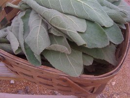 basket of mullein leaves