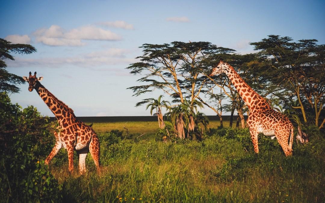 giraffe at safari in tanzania