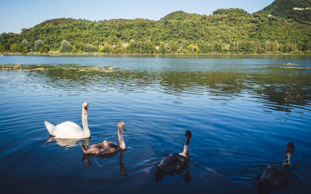 Family of swans at Fimon Lake