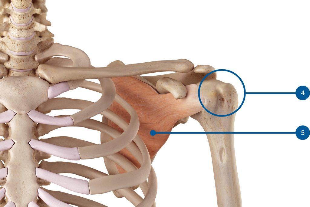 Anatomie épaule, capsule, subscapularis
