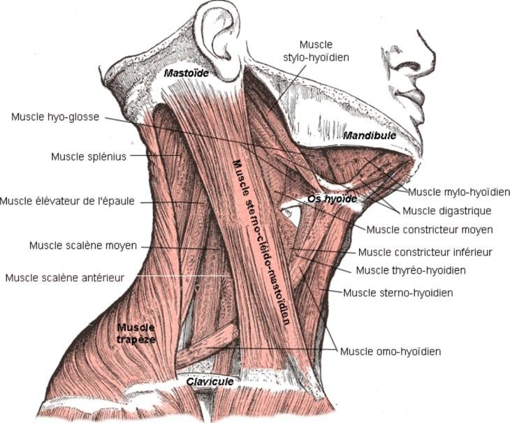 Illustration des muscles du cou, vue latérale droite