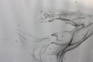 Études anatomiques des os et des muscles, à l'usage des artistes - Flaxman, 1833
