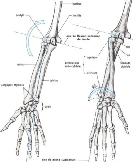 Schéma des deux os de l'avant-bras avec leurs articulations et les axes de rotation, montrant le mécanisme de prono-supination