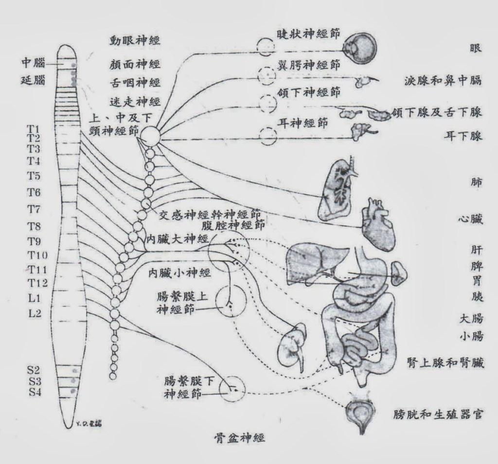 Structure du système nerveux autonome