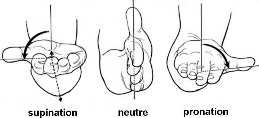 Illustration de la supination et de la pronation pour l'avant-bras