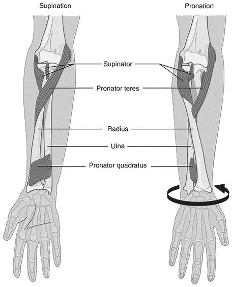 Muscles supinateurs et pronateurs de l'avant-bras droit, vue antérieure