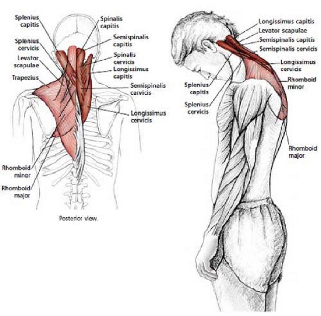 Illustration anatomique de l'étirement  du cou en flexion vers l'avant