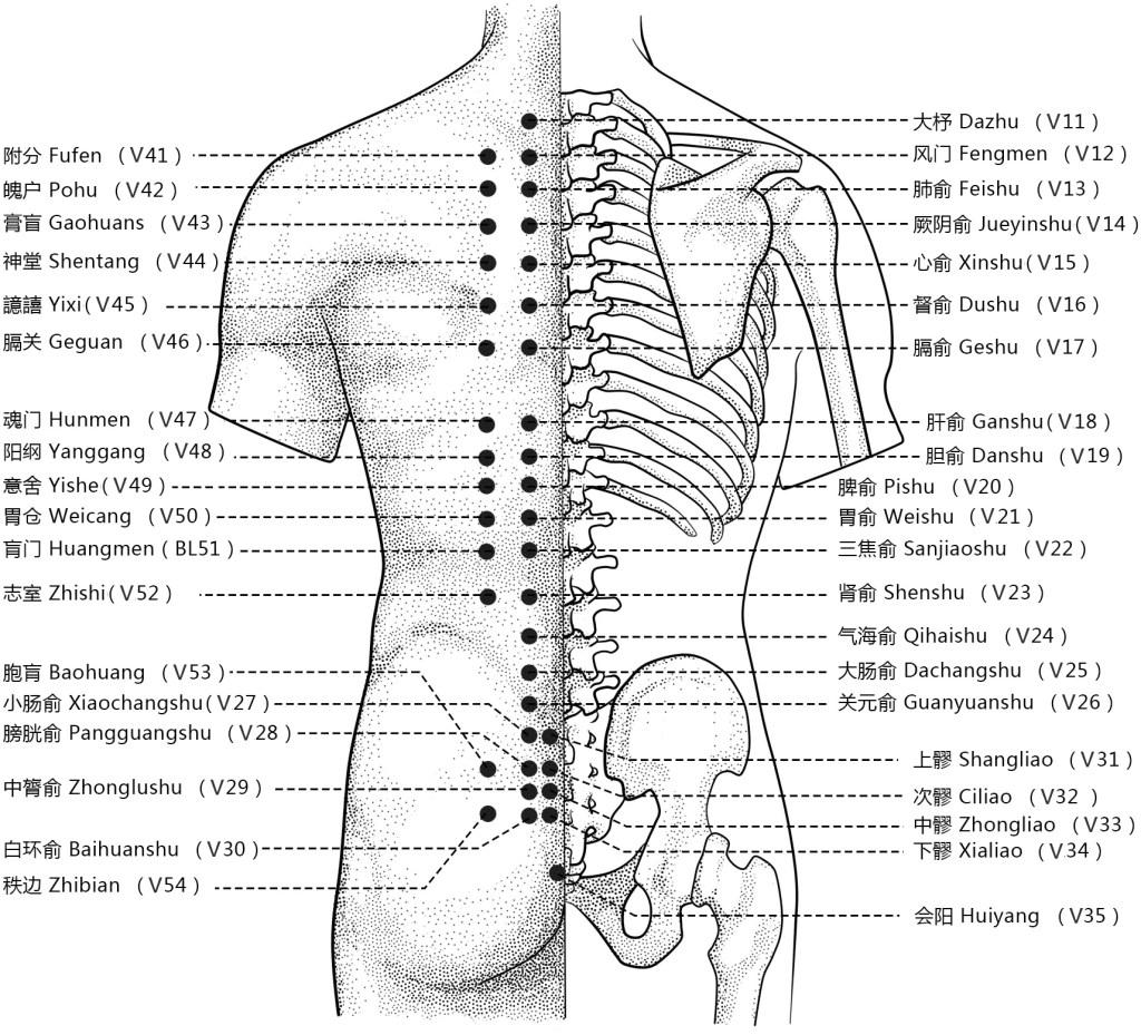 Illustration des points 11 à 54 du méridien de vessie