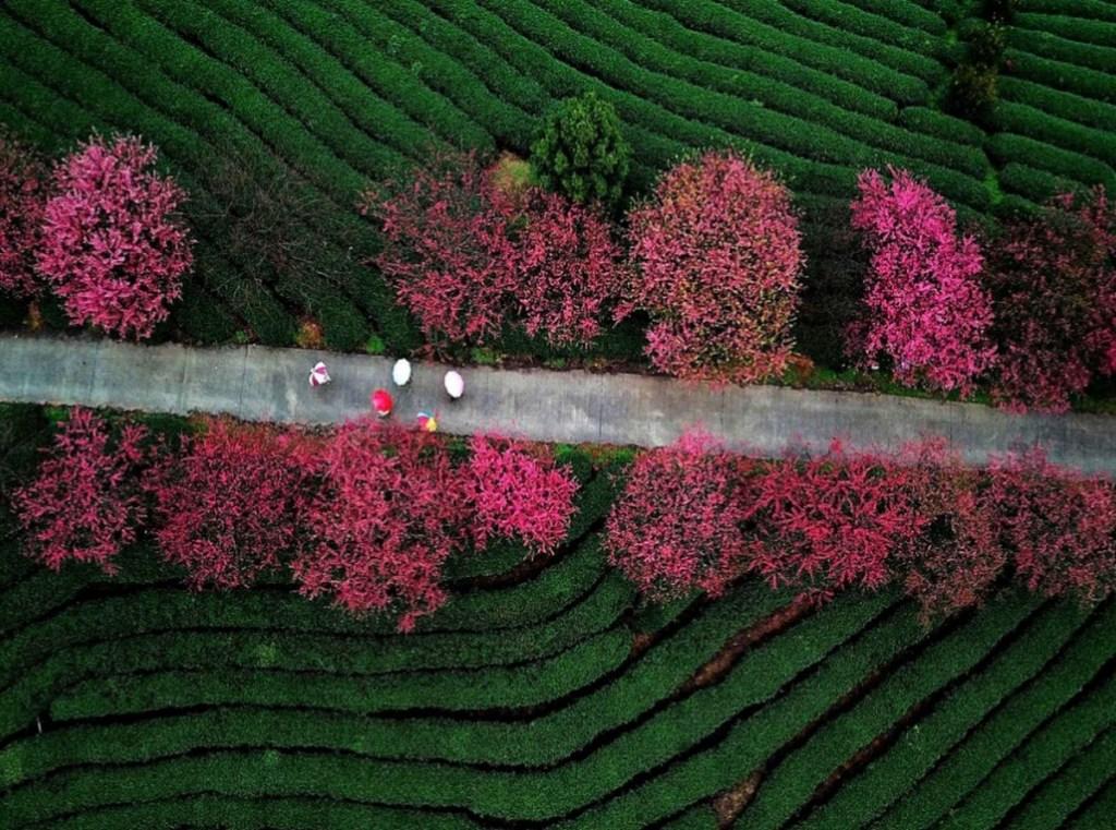 Vue aérienne des fleurs de cerisier dans un jardin de thé de la ville de Zhangping, dans la province du Fujian, au sud-est de la Chine.