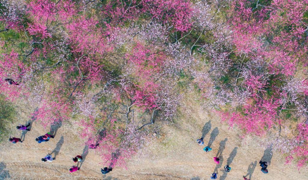 Fleurs de pêchers dans une ferme du district de Luyang , Hefei