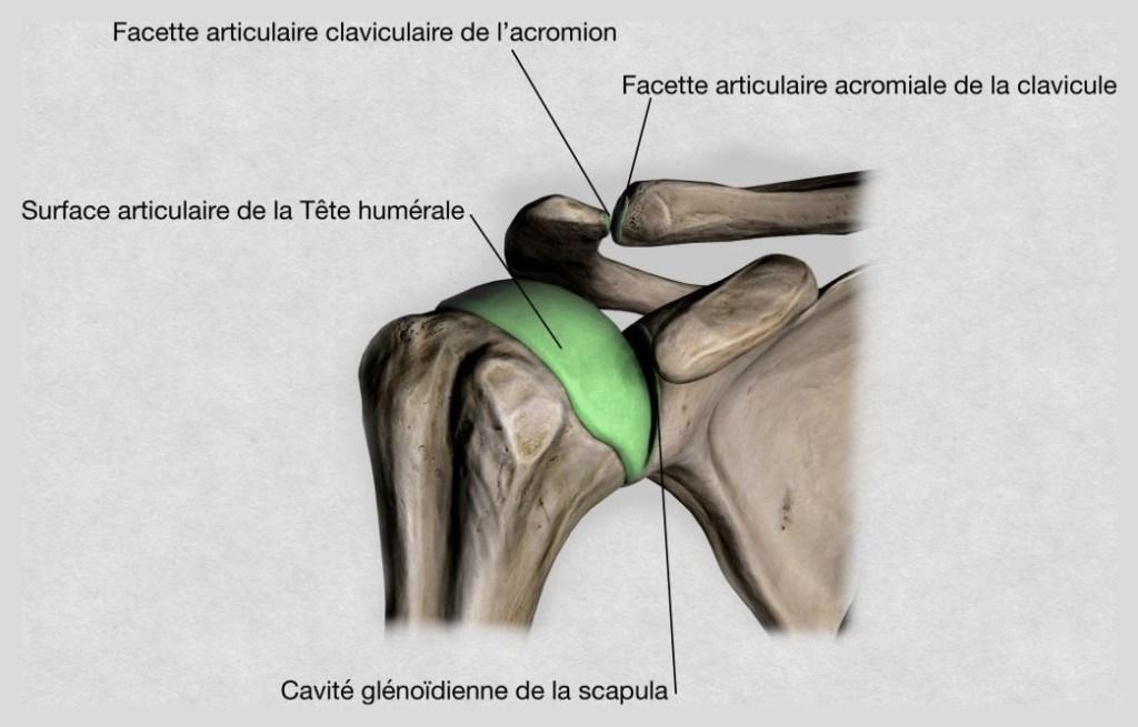 Les surfaces articulaires de l'articulation de l'épaule