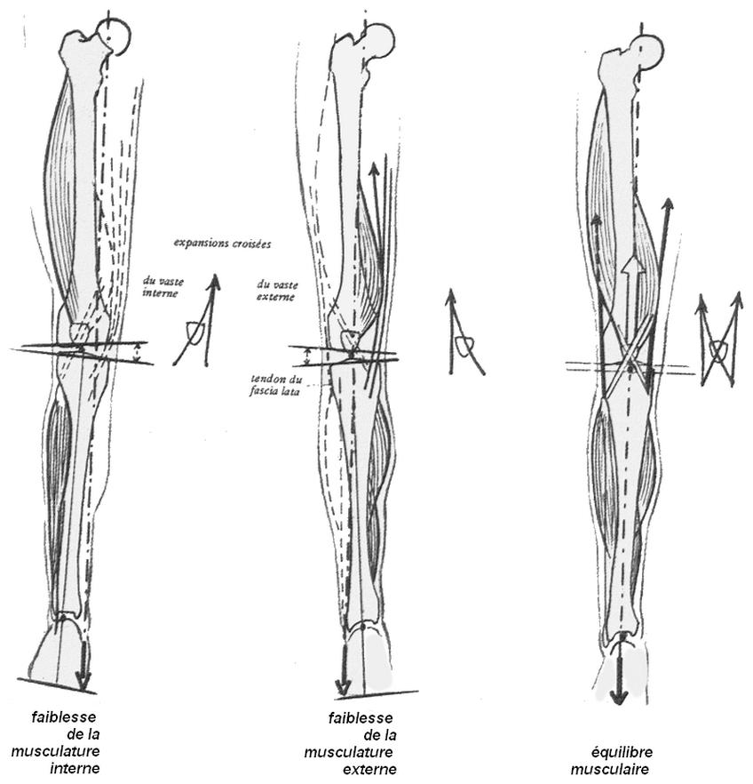 Illustration de l'équilibre transversal du genoux, vue antérieur