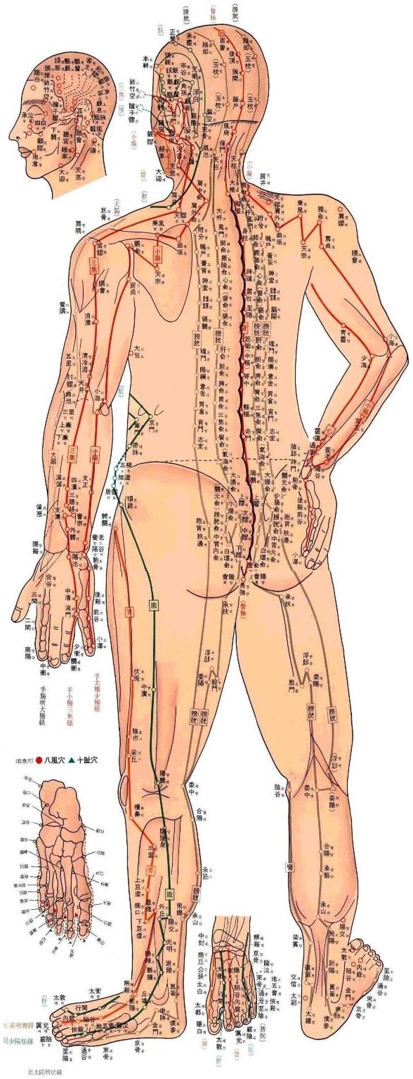 Points d'acupuncture localisés sur la face yang du corps