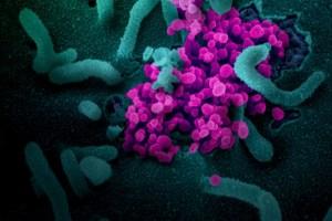 SARS-CoV-2 émergeant de la surface des cellules cultivées en laboratoire