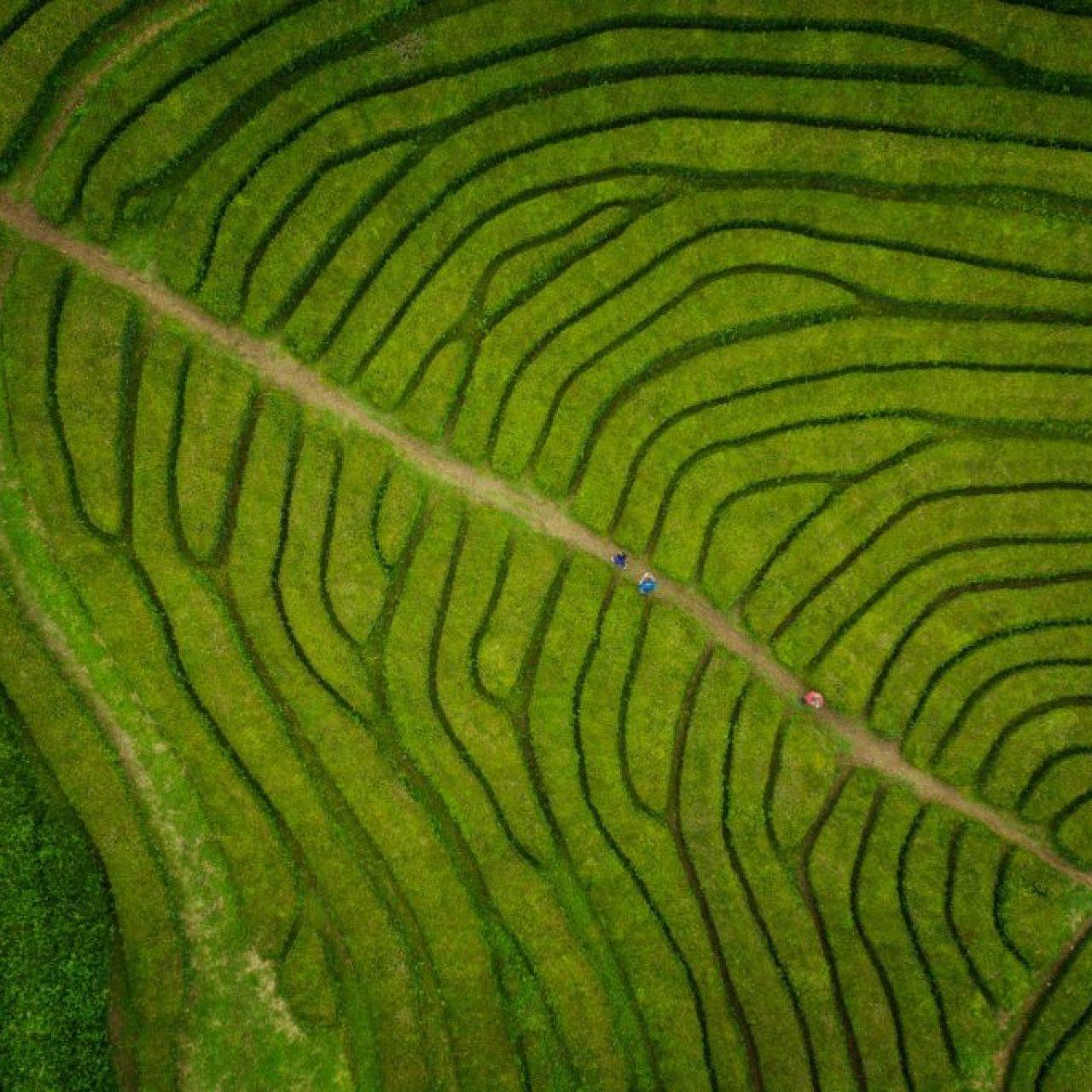 Plantation de thé aux Açores. photographie de Kah-Wai Lin