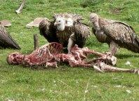 کرکس ها در حال خوردن جسد تبت