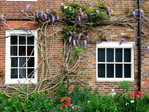 Wisteria in Bloom - Horsham Museum Garden