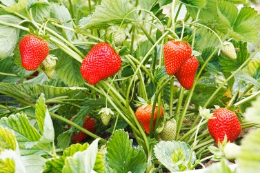 A lot of strawberry in the garden, hanging from the stems.