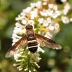 dronefly