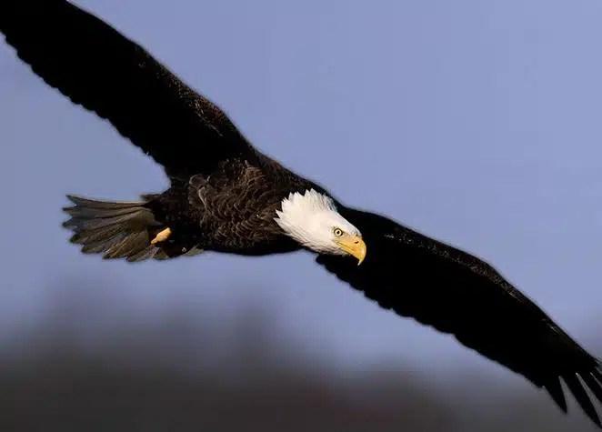 eagle-crop-u50868