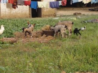The goat herd.