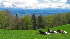 Selbst die Kühe geniessen die Aussicht