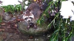 Waschbär im Tierpark Dälhölzli
