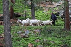 Saanenziegen im Wald
