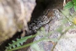 Malachit-Stachelleguan (Weibchen)