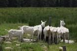 Ziegen auf der Alp Wusta