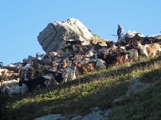 Ziegen an der Punta di l'Oriente