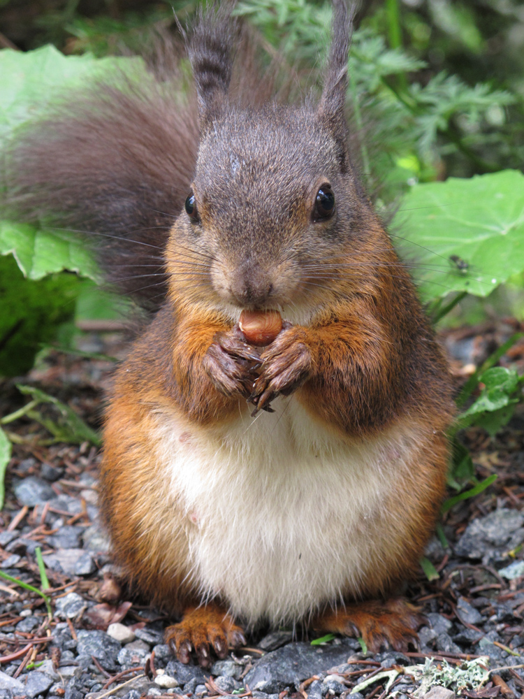 Eichhörnchen, Arosa