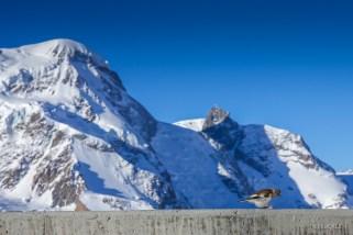 Vögeli vor Breit- und Kleinmatterhorn