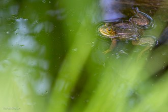 Frosch am Etang de la Gruère