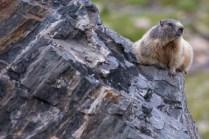 Murmeli bei der Grialetschhütte