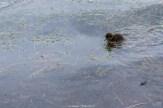 Kleines Blässhühnchen auf dem Silsersee