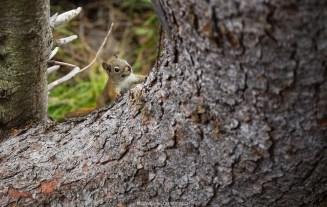 Eichhörnchen am Emerald Lake