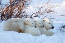 Polar_Bear_Family