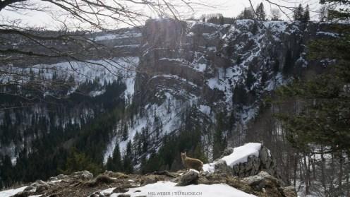 Steinböckli schaut in den imposanten Felskessel