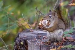 Grauhörnchen mit Pilz, Kanada