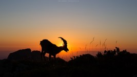 Steinbock bei Sonnenuntergang