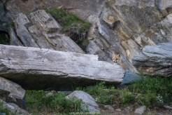 Fuchs beobachtet uns