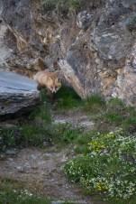 Fuchs schleicht sich an