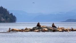 Seelöwen (Kanada)